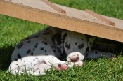 sweet dalmatian puppies